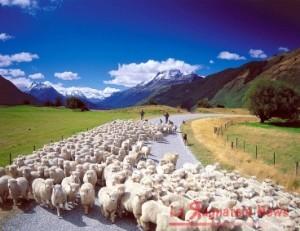 nuovazelanda-pecore