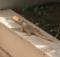 iguana_emma_marone